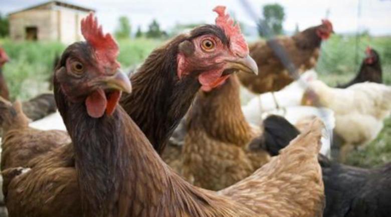 В Кюстендилско взимат строги мерки срещу птичия грип