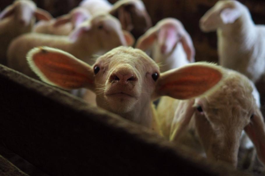 Зе Великден: Ще изядем 60 000 агнета по-малко тази година