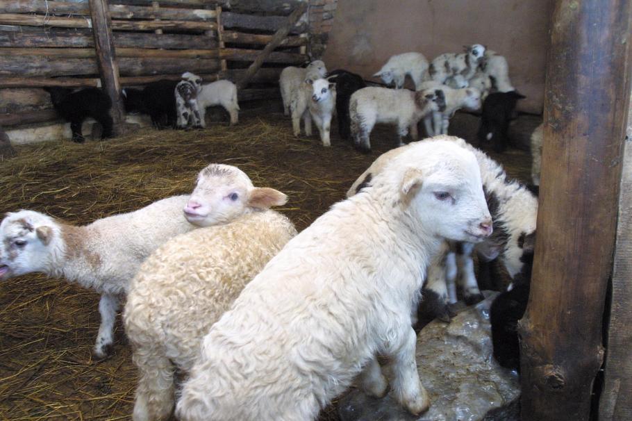 Разрешават клане по поръчка на агнета във фермите
