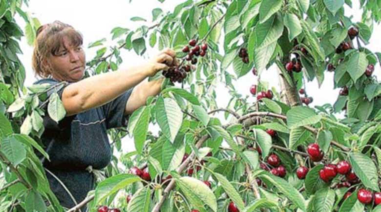 Жандармерията отново ще пази черешите в Кюстендил