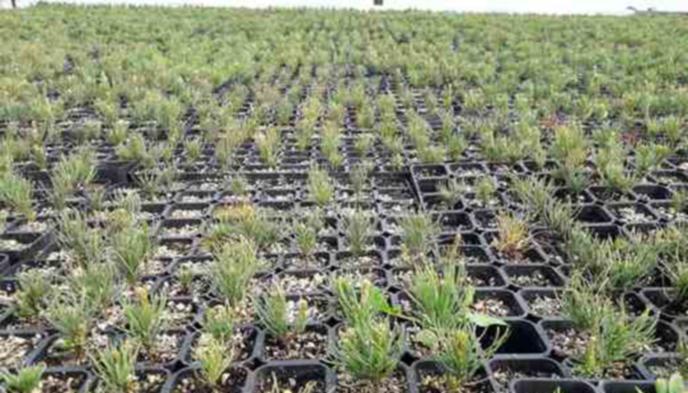 Горските в Пиринско засяха 390 000 фиданки за три месеца