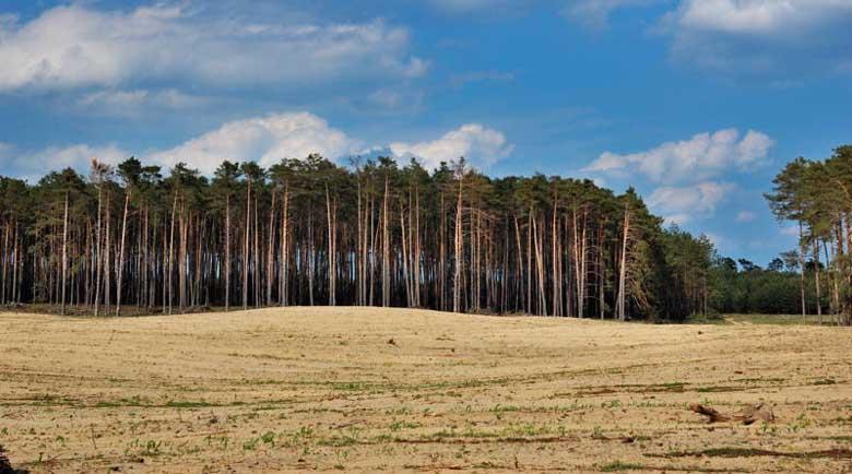 Борова оса съсипва иглолистните гори в Благоевград и Кюстендил