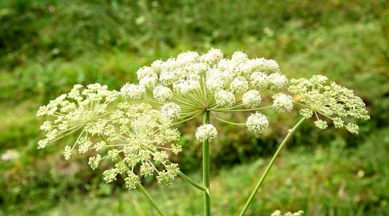 Божествената билка на Архангел Михаил лекува бронхит и възпаление на белите дробове