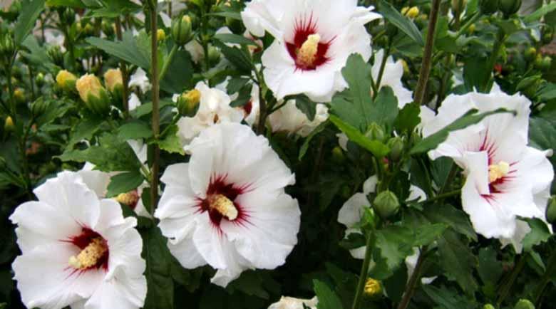 Бялата ружа – антибактериално лекарство и храна