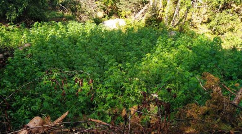 Полицаи пак жънаха канабис в Огражден планина