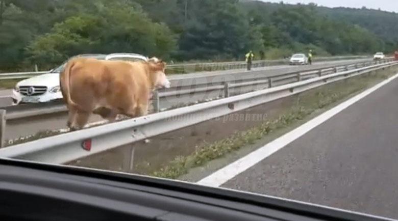 """Крава """"се разходи"""" по Е-79 под полицейски конвой"""