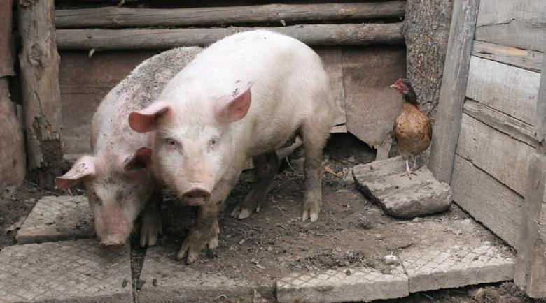Селата без свинско за Коледа, кочините празни след чумата
