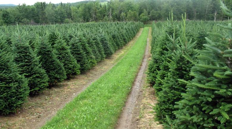 Търговци надуват 5 пъти цените на елхите