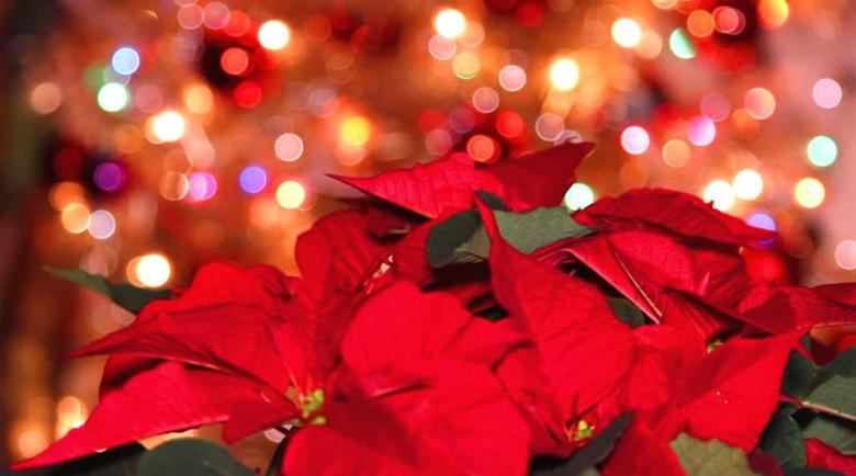Коледната звезда – капризната красавица