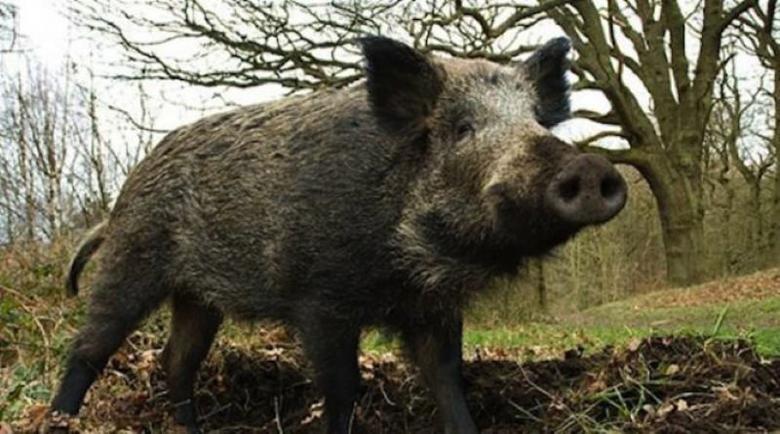 10 души се тръшнаха от трихинелоза в Пиринско, яли диво прасе