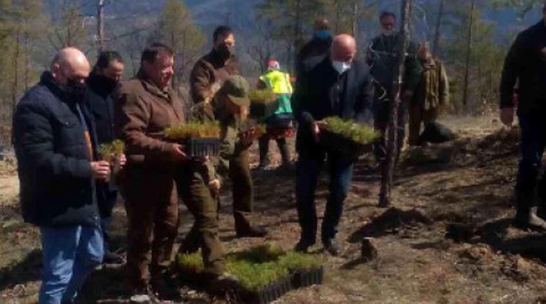 В Пирин започна залесяване на опожарените горски територии