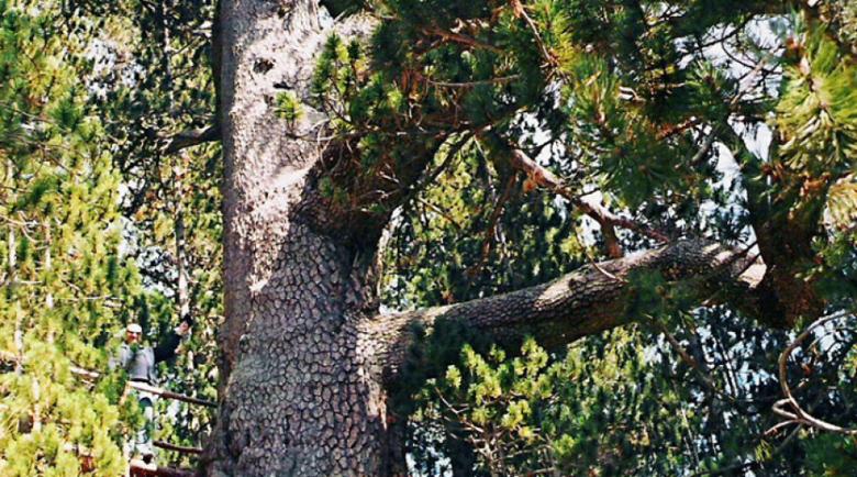 Вземат мерки за спасяване на най-старото дърво в България