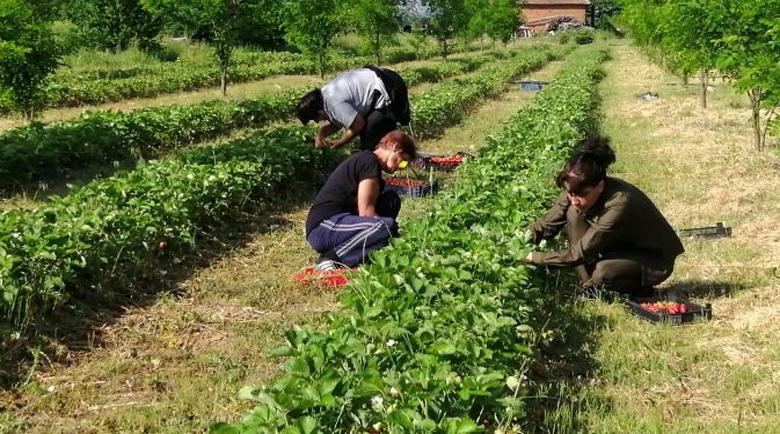 Богата реколта от ягоди отгледаха в разсадника на Рилския манастир